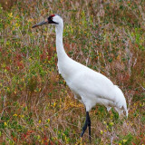 Whooping Crane 53206