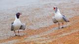 Gulls Squawking 53377