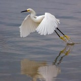 Egret Taking Off 20070213