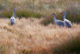 Sandhill Cranes 53756