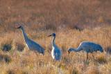 Sandhill Cranes 54008