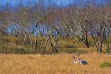 Sandhill Cranes 53957