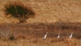 Sandhill Cranes 53970