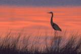 Heron In Dawn Light 20070217