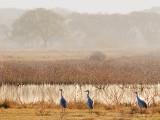 Sandhill Cranes 54047