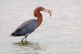 Reddish Egret With Catch 54724