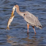 Heron With Catch 54956