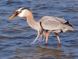 Heron With Catch 54960
