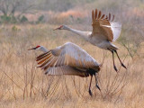 Sandhill Cranes Taking Flight 20070223