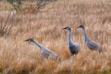 Sandhill Cranes 55001