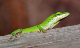 Green Anole 55587
