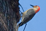 Red-Bellied Woodpecker 55571