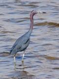 Little Blue Heron 54983