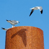 Gull Shadow 55020