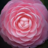 Camellia 55775