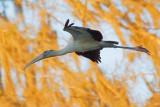 Wood Stork In Flight 20070306