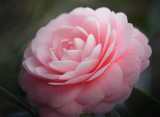 Camellia Flower 55777