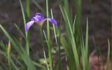 Purple Swamp Iris 56358