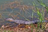American Alligator 56688