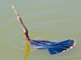 Anhinga With Catch 56678