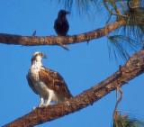 Osprey & Crow 20070317