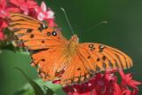 Gulf Fritillary Butterfly 20070321