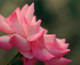 Rose Bloom 57249