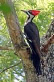 Pileated Woodpecker 56941