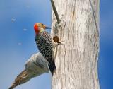 Red-Bellied Woodpecker 57964