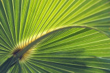 Cabbage Palm Frond 57815