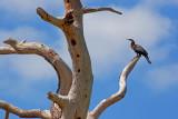 Anhinga In A Dead Tree 58185