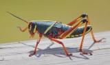 Eastern Lubber Grasshopper 20070403
