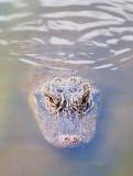 Alligator 58340