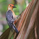 Red-Bellied Woodpecker 20070405