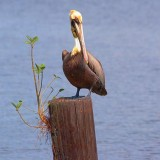 Pelican On A Sprouting Piling 58844