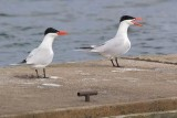 Two Terns 59684