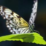 Butterfly 60007