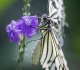 Butterfly 59939