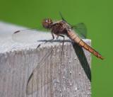 Dragonfly 60555