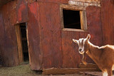 Rusty Building & Goat 29407