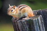 Chipmunk On A Post 20070603