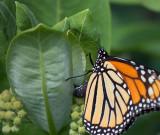 Monarch Butterfly 61489