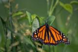 Monarch Butterfly 61483