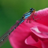 Damselfly On A Wild Rose 20070623