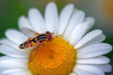 Bee Fly On A Daisy 61781