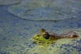 Sunlit Bullfrog 20070629