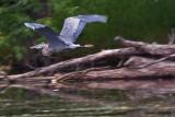 Petrie Island Heron 62031