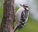 Downy Woodpecker 61959