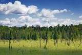 Pine Forest Glade 62293