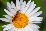 Big Bug On A Daisy 62349
